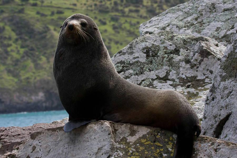 Akaroa Seals
